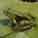Broasca mica verde de lac