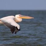 Pelicanul