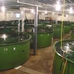 Salmon-in-tanks