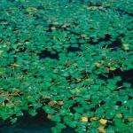- Ciulinul de balta - Planta fixata in sol prin radacini si frunzele  plutitoare.