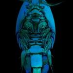 Cladocere carnivore Cleptodora