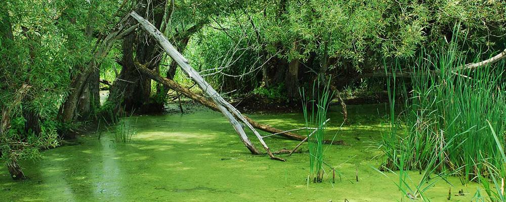 Piscicultura. Exploziile algale si vegetale…pericol mortal pentru crapul din iaz ? ( 3 )