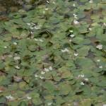 -Iarba broastelor- Plante cu frunze plutitoare nefixate in sol prin radacini.