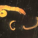 Larve- Chironomidae