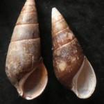 Melc Fagotia acicularis