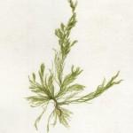 """ Cladophora "" Alge verzi macroscopice ."