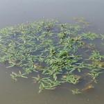 Motul-curcanului Polygonum-amphibium