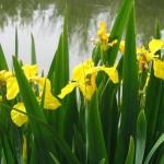 Stanjenel-galben Iris-pseudacorus