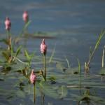 Troscot-Polygonum-amphibium