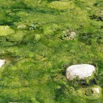""""""" Matasea broastei """"  Alge verzi plutitoare"""