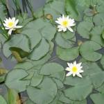 - Nufar alb - Planta cu radacini in sol si frunzele plutitoare.